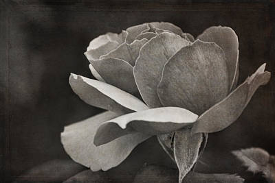Photograph -  Open Tea Rose  by Theo O'Connor