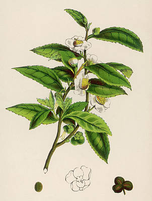 Or Thea Sinensis Branch Of A Tea Art Print By Mary Evans Picture Library