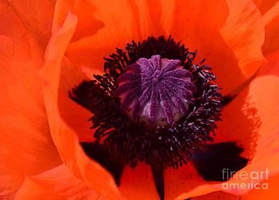 Kathleen Photograph -  Orange Poppy by Kathleen Struckle