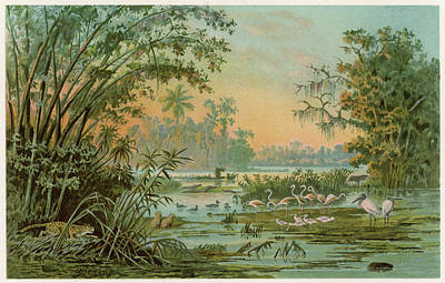 Ibis Drawing -  Orinoco River  With Pink Flamingoes by Mary Evans Picture Library