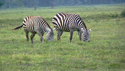 Photograph -  Pair Of Zebra by Tony Murtagh