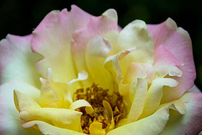 Photograph -  Peace Rose In Bloom by Denyse Duhaime