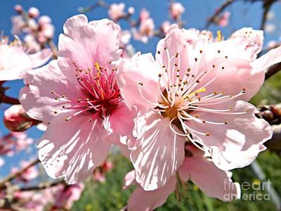 Peach Blossom Art Print by Clare Bevan