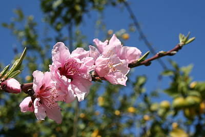 Peach Tree Blossom Against Blue Sky Art Print by Tracey Harrington-Simpson