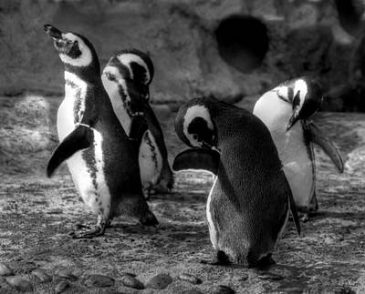 Photograph -  Penguin's by Judith Szantyr