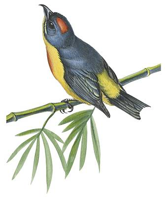 Bamboo Drawing -  Philippine Flowerpecker by Anonymous