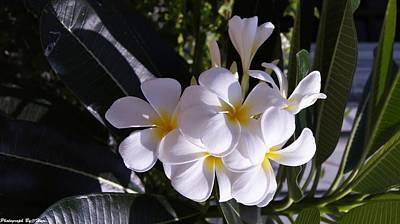Photograph -  Plumeria  by Gornganogphatchara Kalapun