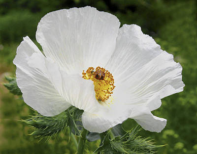 Photograph -  Popping Poppy by David and Carol Kelly
