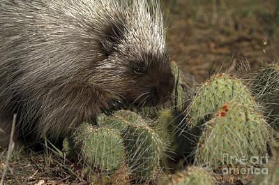Animals Photograph -  Porcupine-animals-image-1 by Wildlife Fine Art