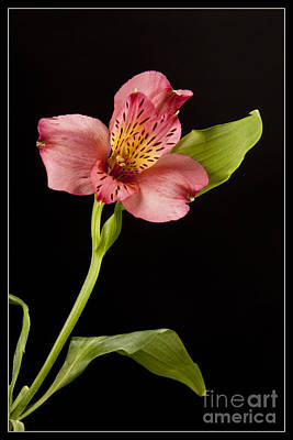 Photograph -  Pouvian Lilly Flower 8045.02 by M K Miller