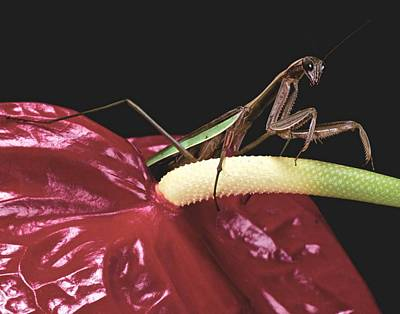 Canibal Photograph -  Praying Mantis  Walking On An Anthurium Flower  by Leslie Crotty