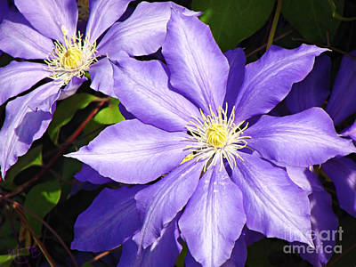 Pretty Purple Clematis Art Print by Mindy Bench