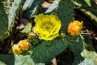Digital Art -  Prickly Pear Cactus And Flowers by Chris Flees