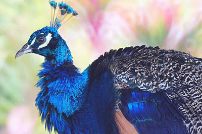 Photograph -  Prime Peacock by DerekTXFactor Creative
