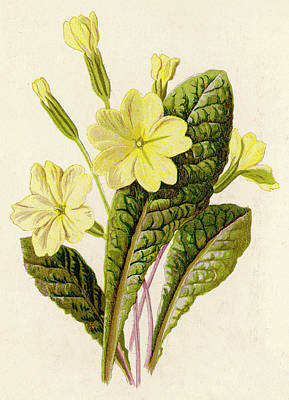 Primroses Drawing -  Primrose         Date 1894 by Mary Evans Picture Library