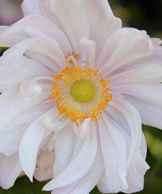 Photograph -  Queen Charlotte Windflower by Kume Bryant