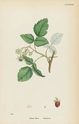 Raspberry Drawing -  Raspberry         Date 1863 by Mary Evans Picture Library