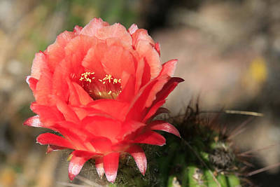 Red  Cacti Flower Art Print