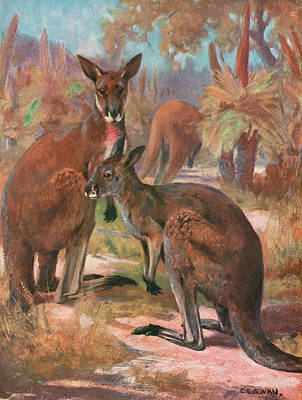Kangaroo Drawing -  Red Kangaroos (macropus Rufus) by Mary Evans Picture Library