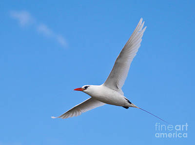Photograph -  Red-tailed Tropicbird by Liz Leyden