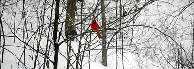 Photograph -  Red Wings In The Woodland by Dina  Stillwell