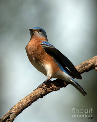 Photograph -  Regal -bluebird by Sandra Clark