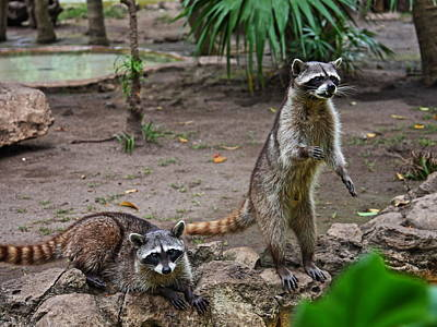 Rocky Raccoon With His Friend Fang Art Print by Paul Williams