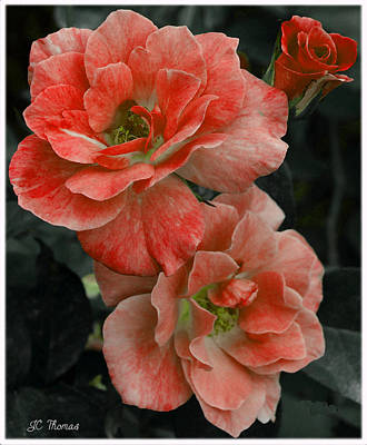 Photograph -  Rose Red by James C Thomas