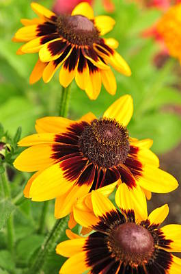 Photograph -  Rudbeckia by Puzzles Shum