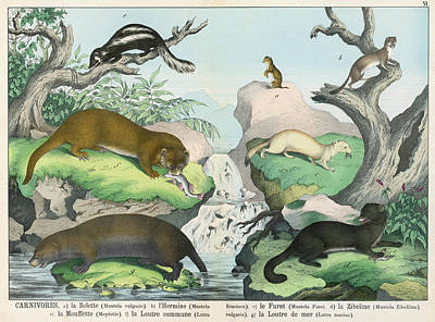 Otter Drawing -  Seven Types Of Carnivore Weasel by Mary Evans Picture Library