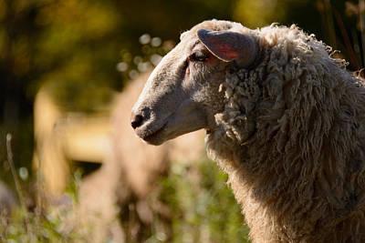Photograph -  Sheep by Ludmila Nayvelt