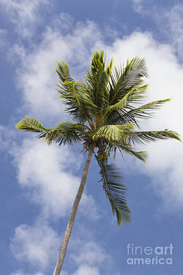 Photograph -  Sky And Palm Tree With Coconuts by Bryan Mullennix