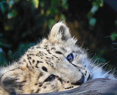 Photograph -  Snow Leopard Cub by Margaret Saheed