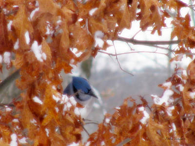 Photograph -  Soft Touch Blue Jay Peek by Debra     Vatalaro