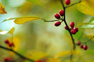 Photograph -  Spicebush With Red Berries by Rebecca Sherman