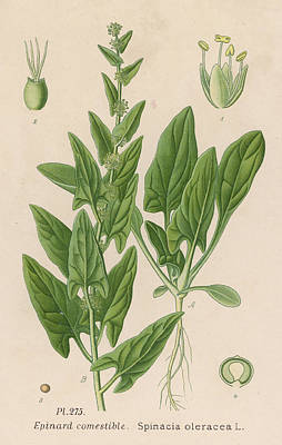 Spinach Drawing -  Spinach         Date Late 19th Century by Mary Evans Picture Library