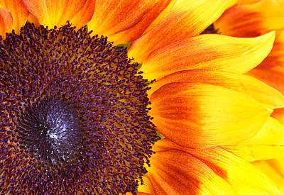 Photograph -  Sunflower Center by David and Carol Kelly