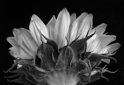 Photograph -  Sunflower In Shades Of Gray by David and Carol Kelly