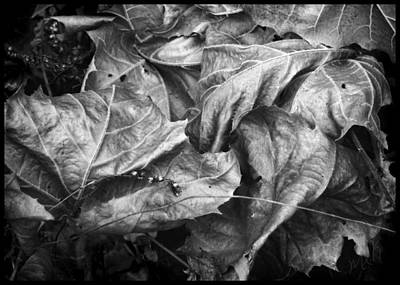 Photograph -  Sycamore Leaves In Autumn by Louise Kumpf