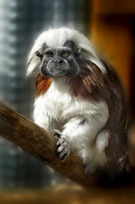 Photograph -  Tamarin Portrait by Chris  Kusik