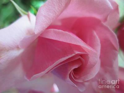 Photograph -  Tenderness Pink Rose 11 by Tara  Shalton