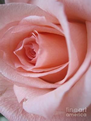 Photograph -  Tenderness Pink Rose 12 by Tara  Shalton