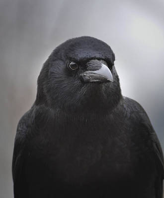 Photograph - Portrait Of Mother Crow by Rae Ann  M Garrett