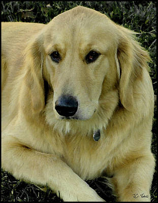 Photograph -  The Golden Retriever by James C Thomas