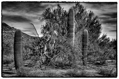 Photograph -  Three Cacti In The Desert by David Patterson
