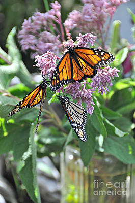 Photograph -  Three Monarchs And Mason Jar  by Mindy Bench