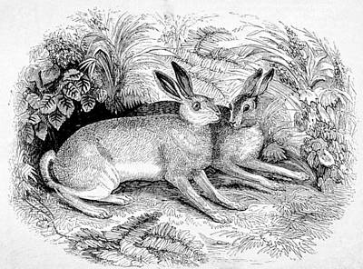 Drawing -  Two Hares by Michael Dohnalek