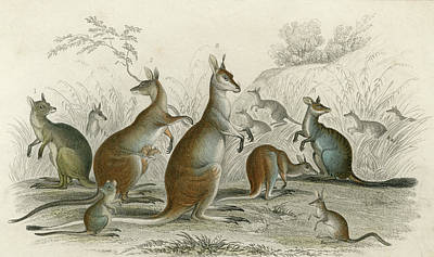 Kangaroo Drawing -  Various Kangaroos  Lord Derby's, Aroe by Mary Evans Picture Library
