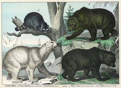 Raccoon Drawing -  Various Types Of Bear Black, Brown by Mary Evans Picture Library