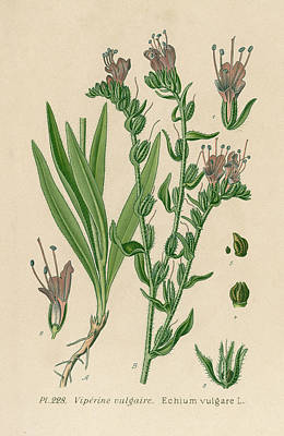 Viper Drawing -  Viper's Bugloss         Date 19th by Mary Evans Picture Library